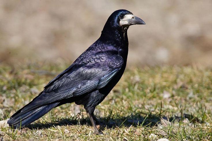 Gralha-calva, Corvus frugilegus