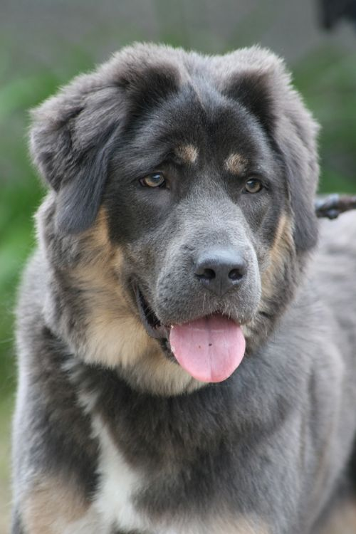 Tibetan Mastiff. This dog reminds me of someone...