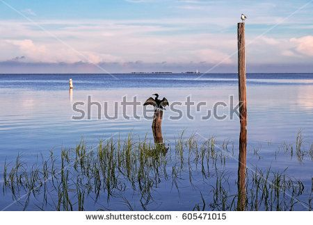 seabirds Birds on poles in the sea at sunrise, Tampa Bay, Florida