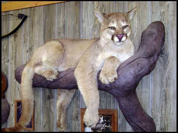 Mountain Lion mount _ Oh How I wish he was on my wall in my living room.