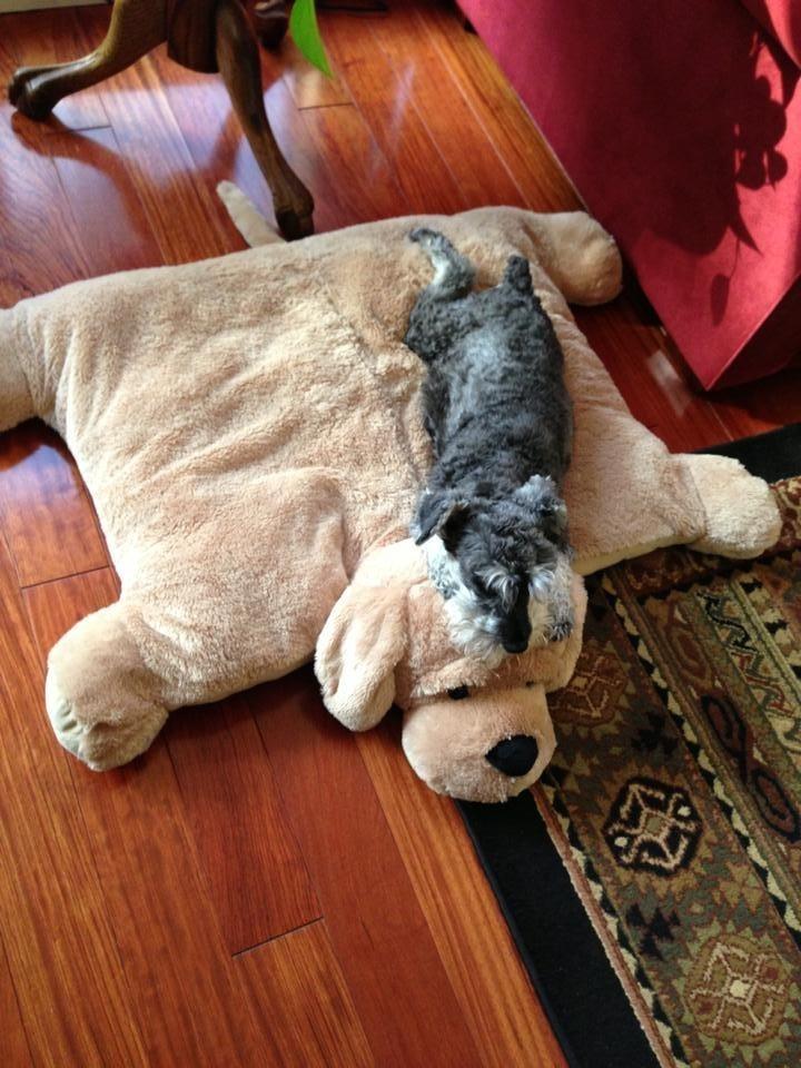 Zzzzzz My Mini Schnauzer Loves A Comfy Bed Schnauzers
