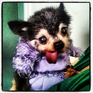 Winnie - a Hospice Volunteer Dog with Wisconsin Chihuahua Rescue