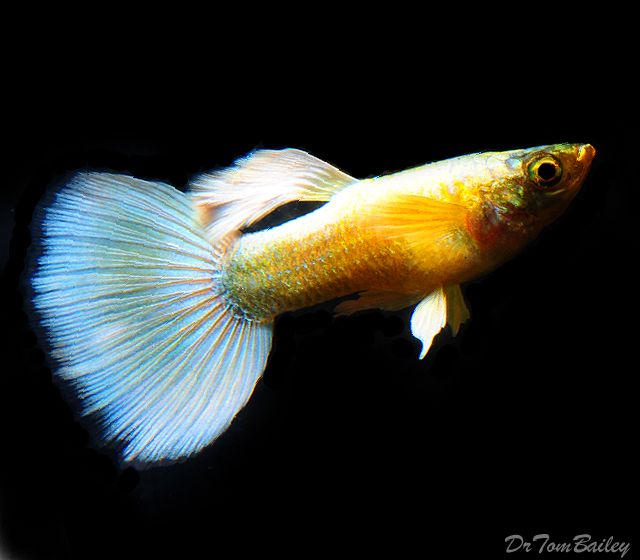 65 best images about guppy fishes on pinterest tropical for Guppy fish for sale