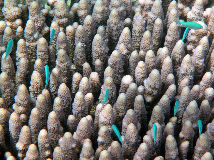 Small blue fish swim among the coral of the Great Barrier Reef, Australia