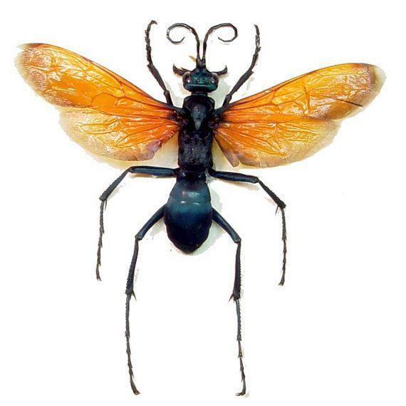 Framed Pepsis Formosa Female North America Tarantula Hawk Wasp Insect