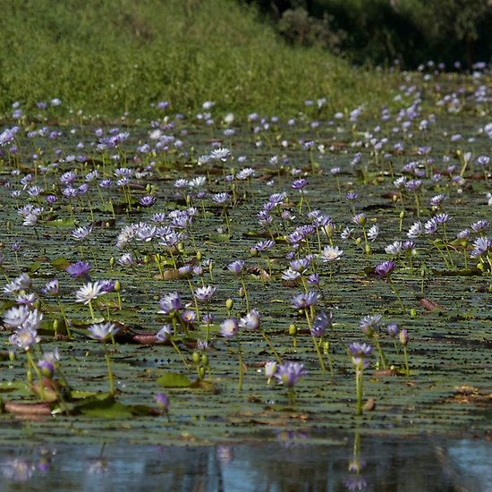 A creek filled with Lotus blooms