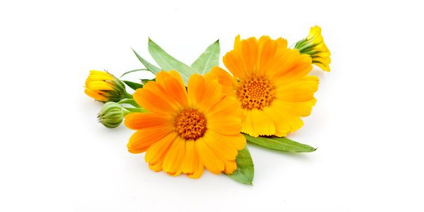 Ringelblume als Heilpflanze einsetzen. Herkunft, Wirkung und Anwendung der Ringeblume als Salbe und als Tee.