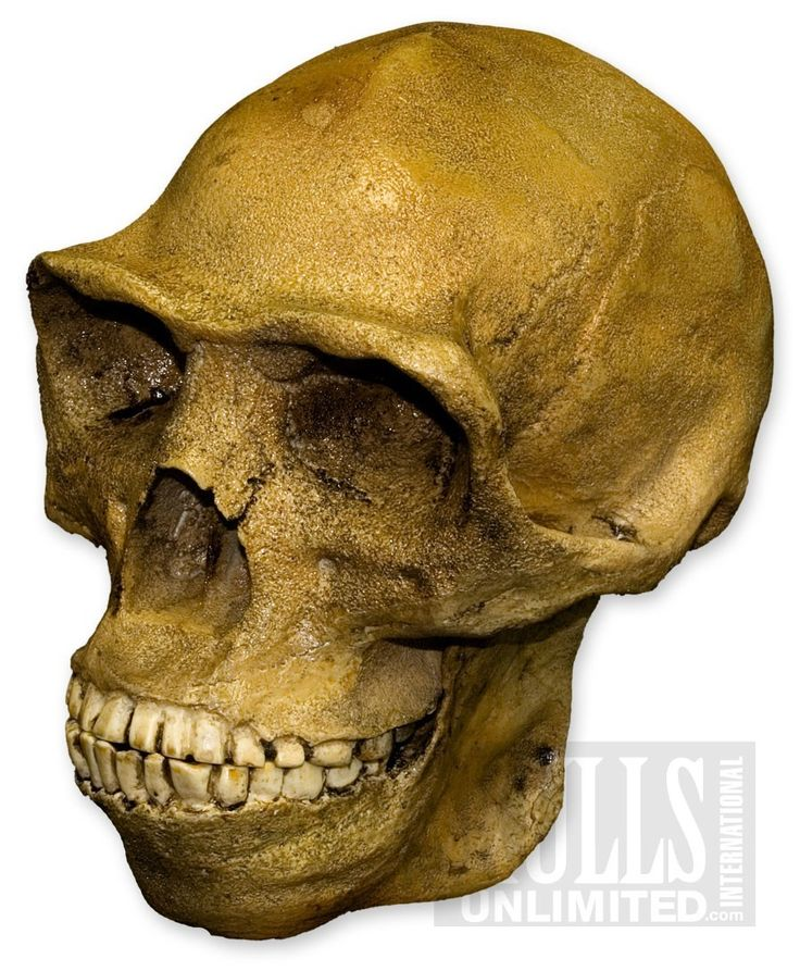 Peking Man Skull (Homo erectus)  | In China? Try www.importedFun.com for award winning kid's science |
