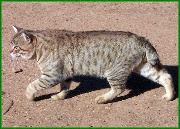 11 Jenis Kucing Peliharaan Berukuran Besar Daftarhewan Com Kucing Kucing Siberia Kucing Ragdoll