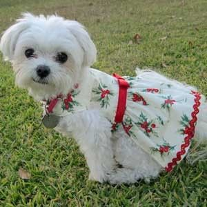 Artfire Xmas Formal Dog Dresses for Small Dogs Red Holly Print Maltese