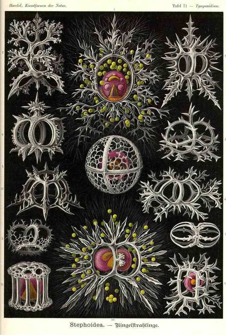 Stephoidea via Kunstformen der Natur (1900) Illustration by Haeckel