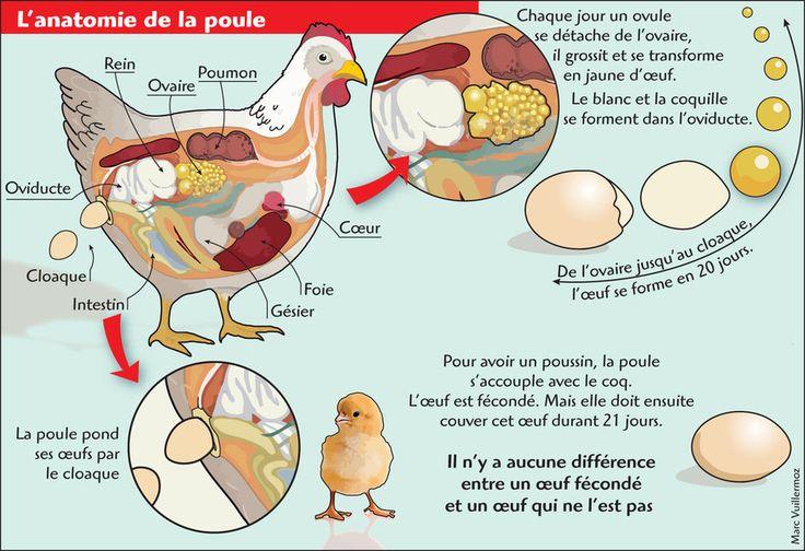 Anatomie de la poule Formation de l'œuf