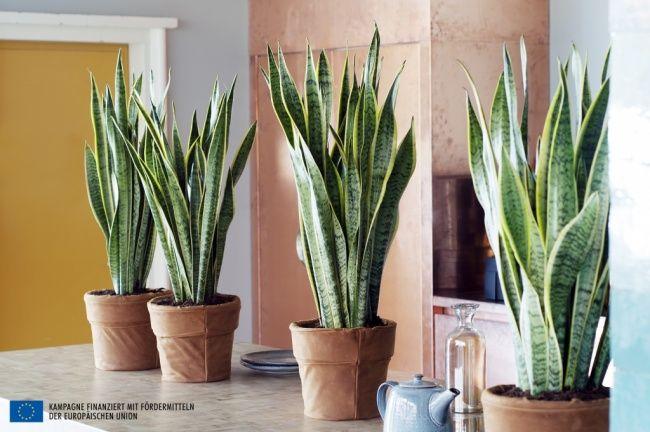 Bogenhanf ist Zimmerpflanze des Monats August | Pflanzenfreude