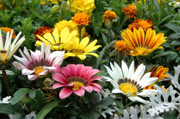 Tips for growing gazanias information about gazania plant for Garden plant information