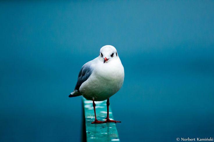 Seagull by Norbert Kamiński on 500px