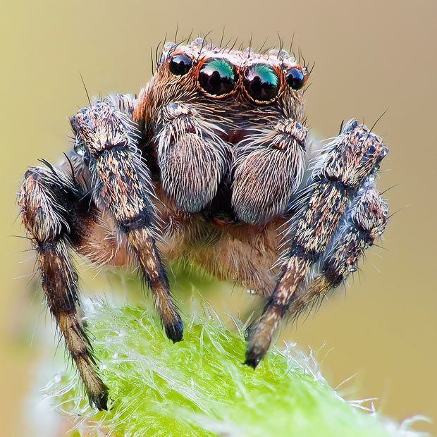 A jumping spider --- John Hallmen is the photographer and you can see his reflection in this spiders eyes.  Sleep well ...
