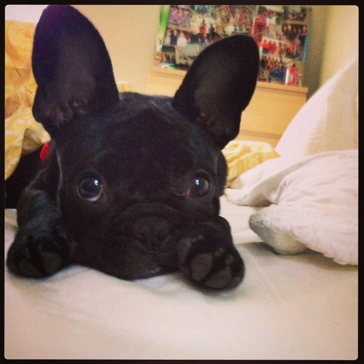 French Bulldog puppies are sooo cute too! Broccoli's other sister? (Other than Zamor)