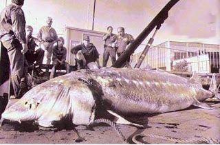 Big Fishes of the World: STURGEON BELUGA (Huso huso)