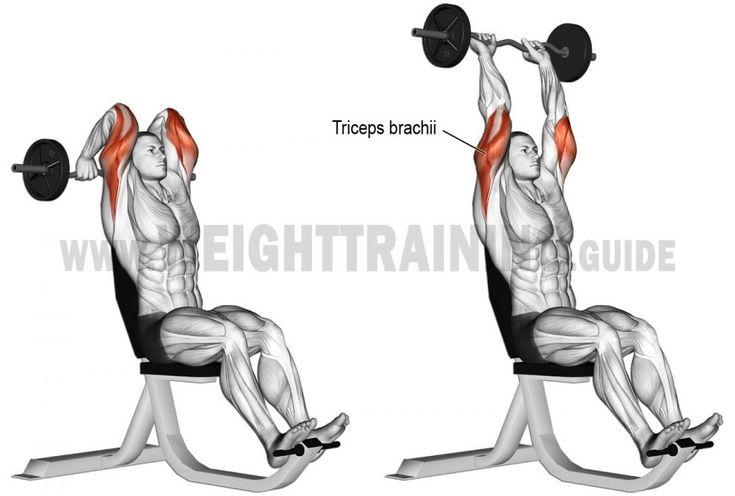 39 best Anatomie musculation : bras : Biceps / triceps
