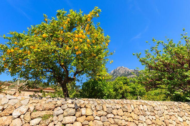 Plantation de Citron #LaCompagniedesSens #citron #plantation
