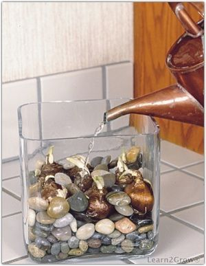 [Forcing bulbs in water] ... now I know what to do with my bulbs, that never made it into the garden