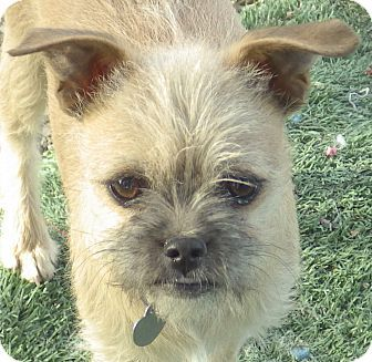 16 Best Brussel Griffon Mixed With Chihuahua Images On