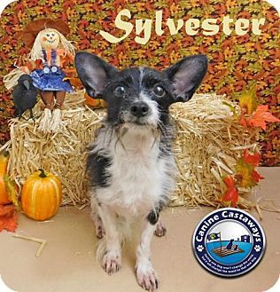 Arcadia, FL - Poodle (Miniature)/Chihuahua Mix. Meet Sylvester, a dog for adoption. http://www.adoptapet.com/pet/16980900-arcadia-florida-poodle-miniature-mix