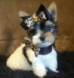 Teacup Yorkie Information | Yorkies For Sale From Elvis Yorkshire Terrier (specializing in Teacup ...