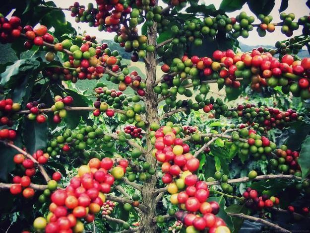 Los granos de café son en realidad la boca de una mora, que los convierte en una fruta. La mejor fruta.