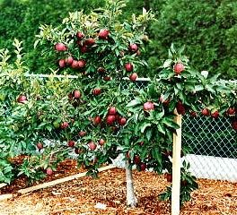 10 Tips On Growing Dwarf Fruit Trees. I Just Planted About 8 New Dwarf Trees  In My Backyard, Adding To The 4 I Already Had. For A Small City Lot, ...