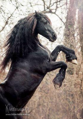 Friesen – Pferdefotografie, Hundefotografie, Fotografie Bettina Niedermayr Pferde – Mensch & Pferd – Hunde- Portrait – Stallschilder – Kalender, Pferd…