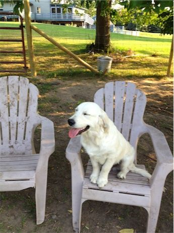 White Golden Retrievers Puppy Loves Farm Life.
