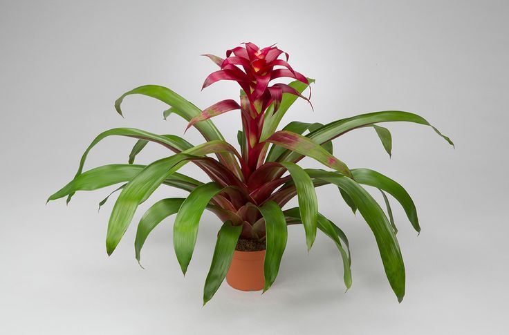 what are bromeliads jaz Bromeliads a guide to the beautiful neoregelia(1994) ○, bromeliads by  walter richter (1977) ○, bromeliads for home, garden and greenhouse.