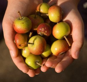 """Transcendent Crabapple Tree -08 excellent choice for pollinating apple trees. It bears a heavy crop of 2"""" large crabapples that are yellow with a red cheek. This is an old time favorite for fresh eating, cooking, and making fine jelly."""