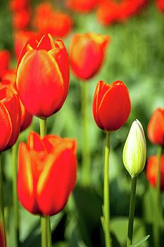 Art Calapatia - Orange Tulips 7