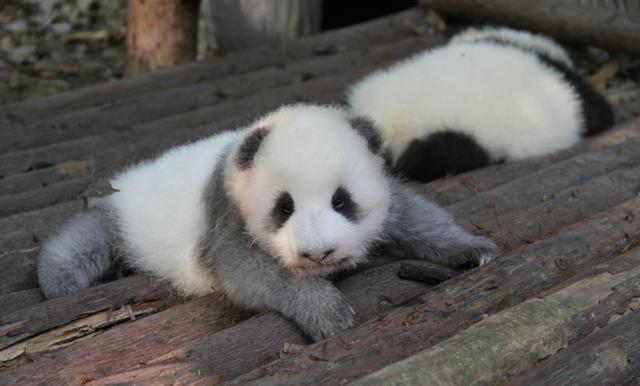grey baby panda resting