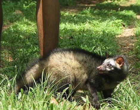 Asian Palm Civet (Paradoxurus Hermaphroditus) --The Asian palm civet is a smaller species of civet found throughout the jungles of Asia, and easily recognisable by its dark, coarse hair and large eyes. The Asian palm civet is also known as the common palm civet and the Toddy Cat is areas where the Asian palm civet is natively found. The Asian palm civet is found inhabiting the tropical jungles and rainforests throughout much of Asia.