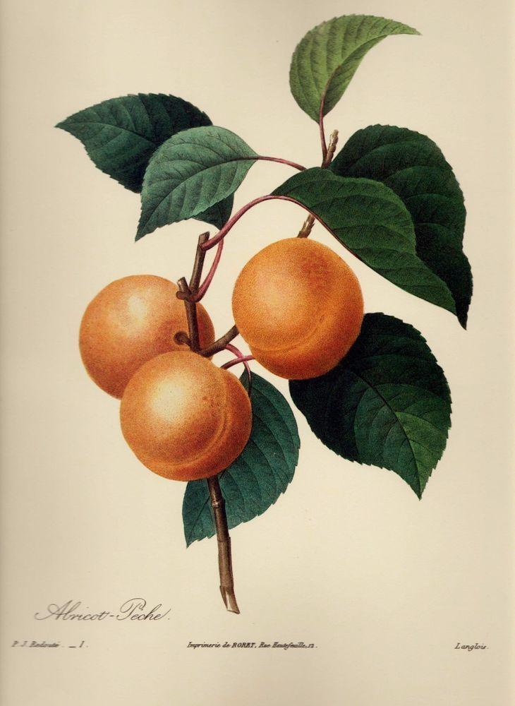 Botanical fruit print apricot kitchen gallery wall art shabby chic decor pjr 986