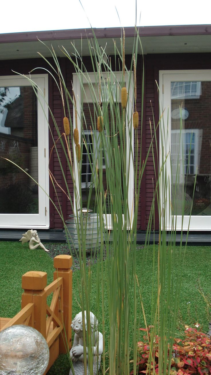 The reed mace (bulrush; cattail) has been a huge benefit to the pond. This is the most compact variety and easily controlled in a pot (TYPHA LUGDUNENSIS (Typha gracilis)) - so easy to care for