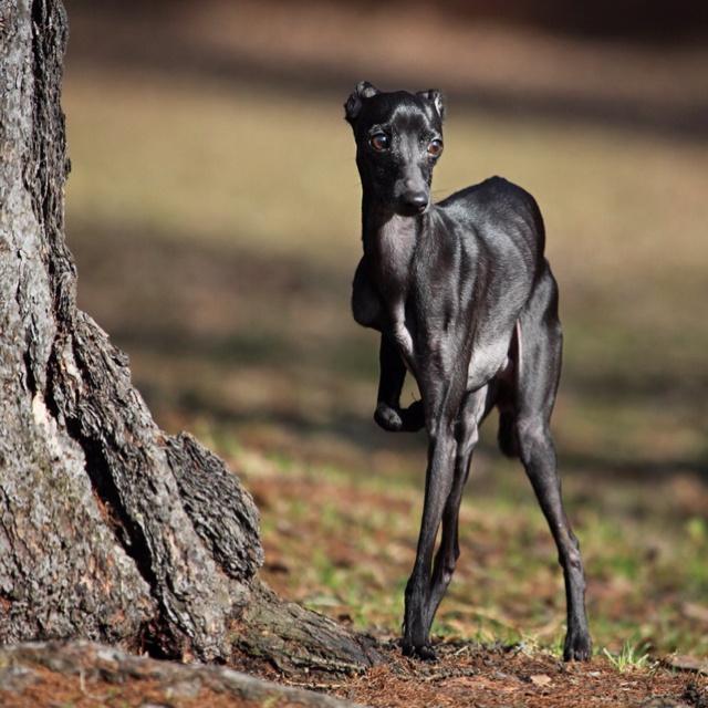 Black Italian Greyhound | Things I Love | Pinterest ...