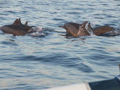 Les dauphins de Lovina, Buleleng, Bali