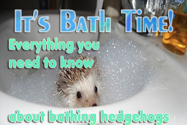 How To Bathe A Hedgehog