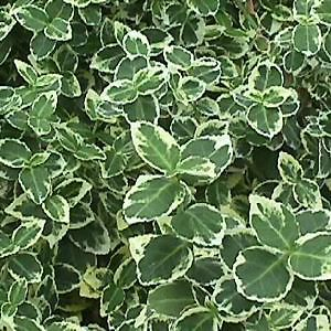 Emerald Gaiety Euonymus: Shrubs Euonymus Emeralds, Evergreen Shrubs, Green Leaves, Shrubseuonymus Emeralds, Gardens Landscape Ideas, Gaieti Euonymus, Euonymus Fortunei, Dark Green, Emeralds Gaieti