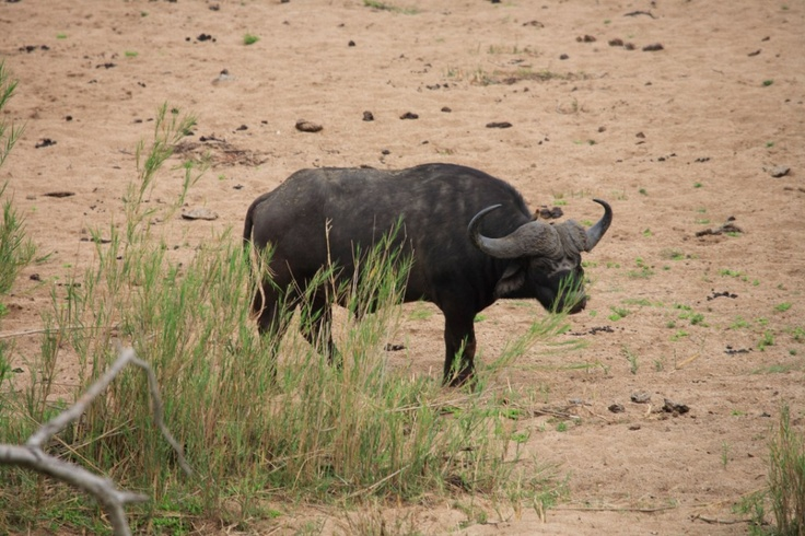 Buffalo on riverbed