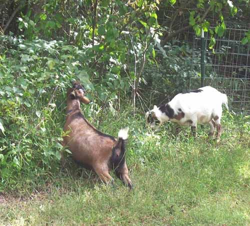 But do you know which goat breed eat the most weeds here we are describing about some goat breeds which will eat weeds from your property
