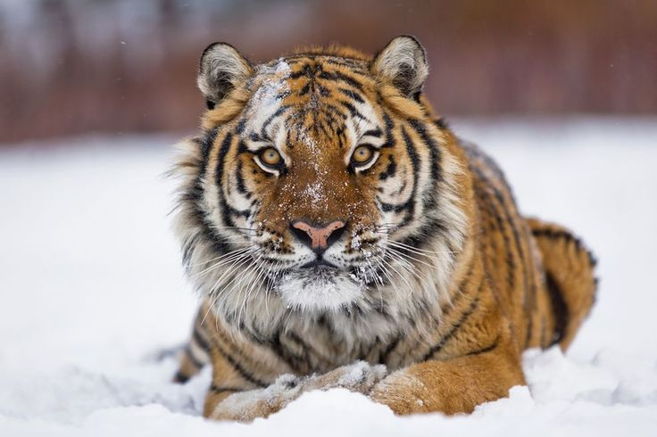The native Caspian tiger has gone extinct, but the genetically similar Amur tiger may be introduced to a region of Kazakhstan.