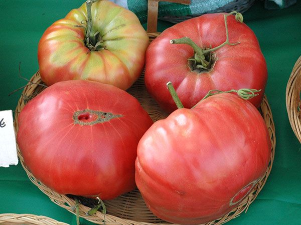 Mortgage Lifter Tomato-85 days. Large, smooth, 1-lb. pink fruit have a delicious, rich, sweet taste.  | Baker Creek Heirloom Seed Co