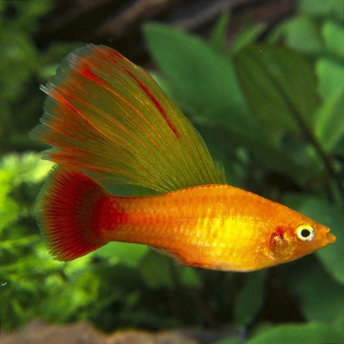Males of the Hi-Fin Golden Variatus Platies are perhaps the most ornamental forms of this species. The sail-like dorsal fin adds to what is already a very fine fish. Not all the offspring of this strain will have such a beautiful spread of finnage as the one pictured here.