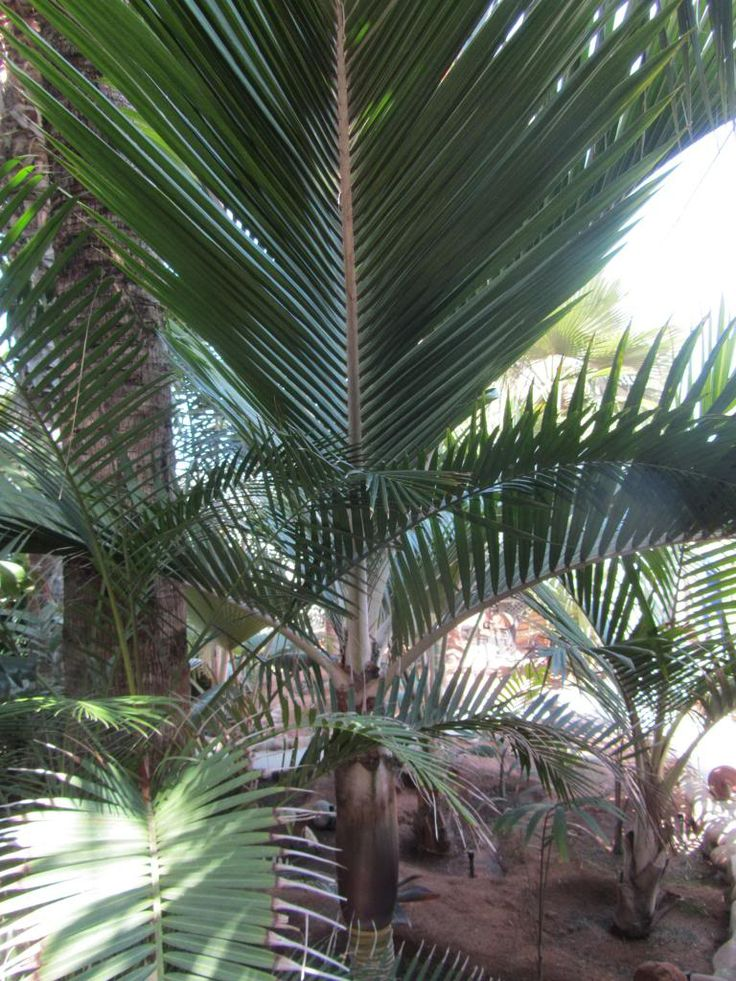"Dennis Willoughby PRA "" The palm Maestro "" ! - DISCUSSING PALM TREES WORLDWIDE - PalmTalk"