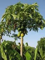 How to grow a papaya tree